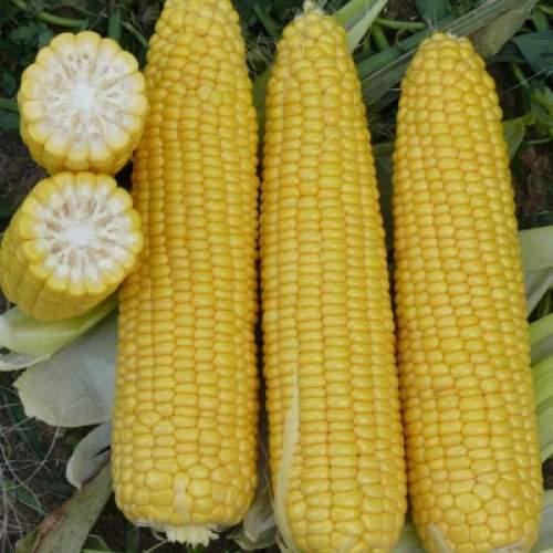 кукурузы добрыня