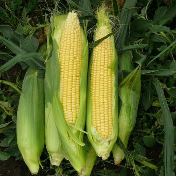 кукуруза 1801 f1