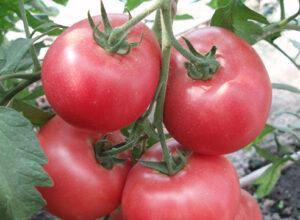 1804 f1 томат