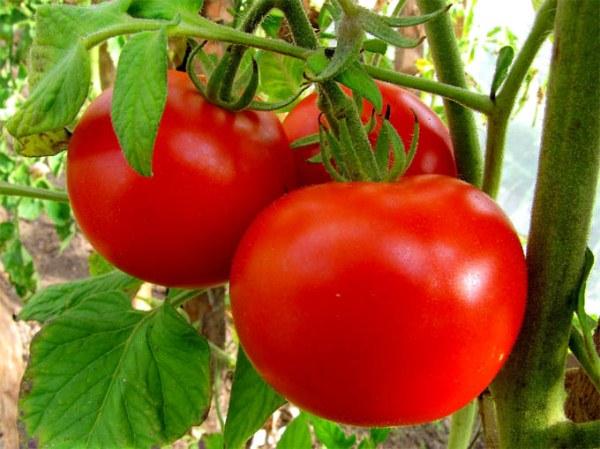 томат 1807 f1