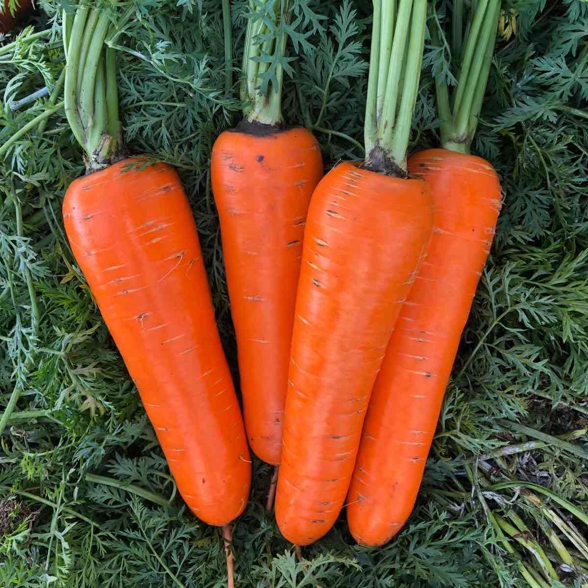морковь йорк