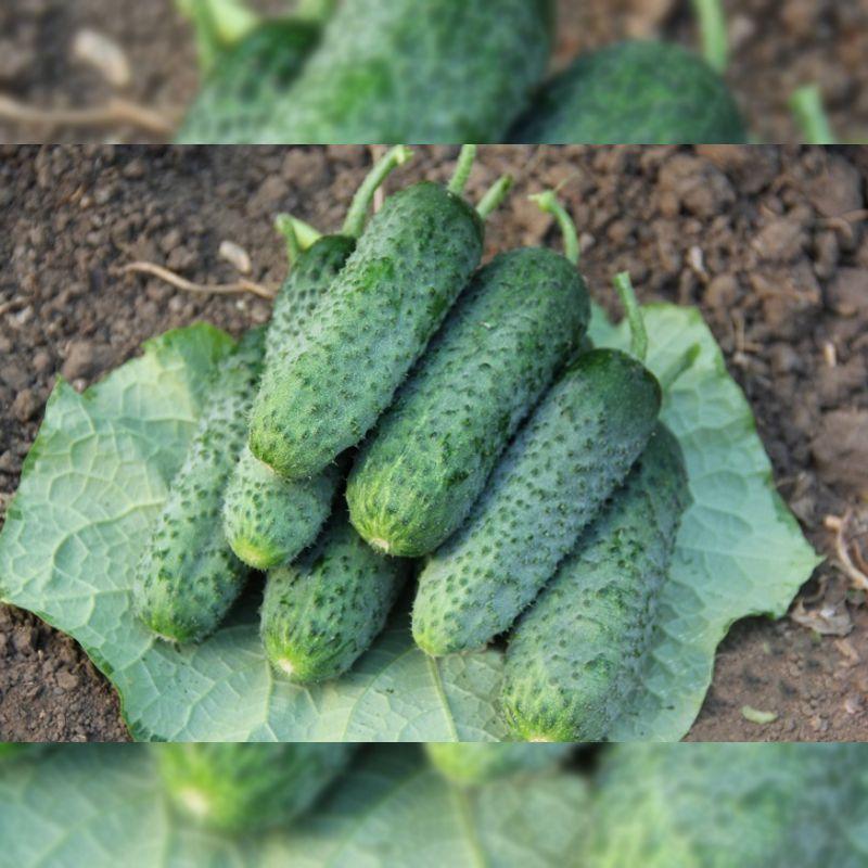 Джокер F1 (Джоккер F1) семена огурца корнишона