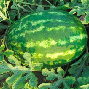 ЛС 1812 F1 (LS 1812 F1) семена арбуза