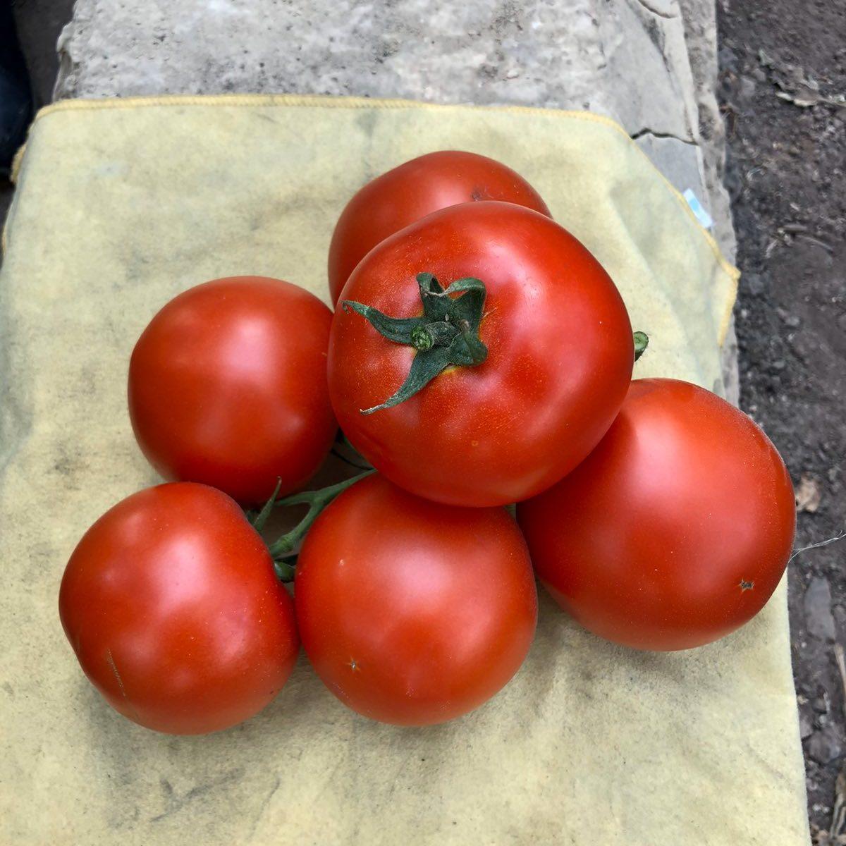 томат 1606