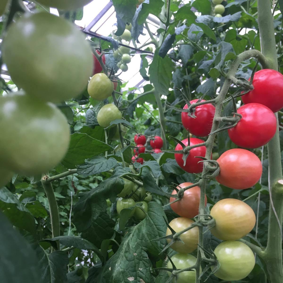 томат ст 25
