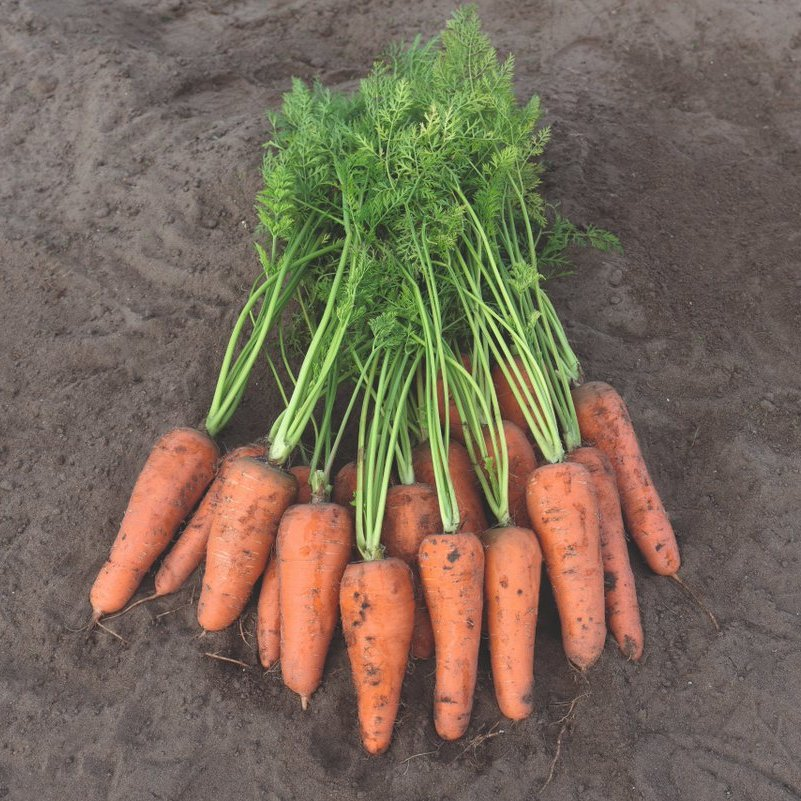 Морковь Карини (Bejo)