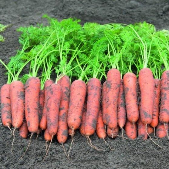 Морковь Рамоса (Bejo)